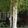 Alaskan Birch by Lew Davis