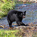 Alaskan Black Bear Hunting In A River by Jessica Foster