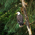 Alaskan Eagle by Cyril Furlan