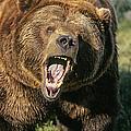Alaskan Grizzly by Buddy Mays