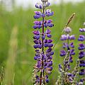 Alaskan Lupines by Stacey May