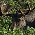 Alaskan Moose by Penny Lisowski