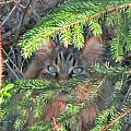 Alaskan Wild Cat by Larry Marano