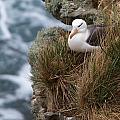 Albatross Rookery by David Beebe
