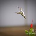 Albino Hummingbird by Charles Dobbs