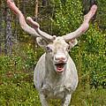 Albino Reindeer by Mae Wertz