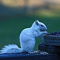 Albino Squirrel by Amanda Stadther