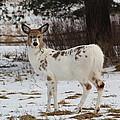 Albright The Piebald Deer by Theresa Meegan