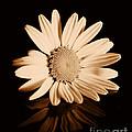 Albumen Daisy by Brian Raggatt