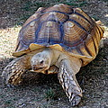 Aldabra Tortoise by Laurel Talabere