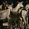 Alert Antelopes by Pati Photography