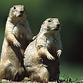 Alert Black-tailed Prairie Dogs by Konrad Wothe