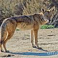 Alert Coyote by Anthony Mercieca