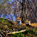 Alert Cute Kit Foxes by Thomas Young