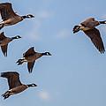 Aleutian Geese by Brian Williamson
