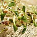 Alfalfa Sprouts by Iris Richardson