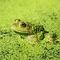 Algae Covered Frog by Optical Playground By MP Ray