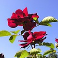All About Roses And Blue Skies Iv by Daniel Henning