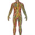 All Body Systems In Male Anatomy by Gwen Shockey