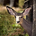 All Ears - Mule Deer Fawn - Casper Mountain - Casper Wyoming by Diane Mintle