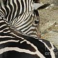 All Stripes Zebra 2 by Heather Jane