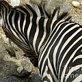 All Stripes Zebra 3 by Heather Jane