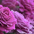 All The Violet Roses by Jennie Marie Schell
