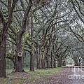 Allee Of Oak Tree's by Dale Powell