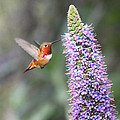 Allen Hummingbird On Flower by Diana Haronis