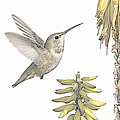 Allen's Hummingbird And Aloe by Mike Herdering