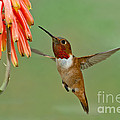 Allens Hummingbird At Flowers by Anthony Mercieca