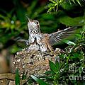 Allens Hummingbird Chicks by Anthony Mercieca