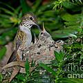 Allens Hummingbird Feeds Young by Anthony Mercieca