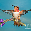 Allens Hummingbird Male by Anthony Mercieca
