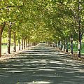 Alley Of Trees On A Summer Day by Brandon Bourdages