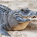 Alligator Closeup On Sand by Songquan Deng