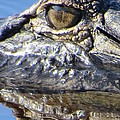 Alligator Eye by Zina Stromberg