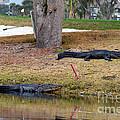 Alligator Hazard by Catherine Sherman