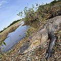 Alligator In Everglades by Alex Potemkin