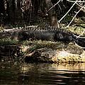Alligator  by Joseph G Holland