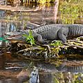 Alligator Mississippiensis by Christine Till