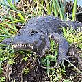 Alligator Overbite by Rudy Umans