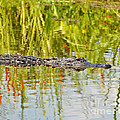 Alligator Reflection by Al Powell Photography USA