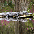 Alligator Sunbathing by Daniela Duncan