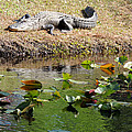 Alligator Sunbathing by Kim Pate
