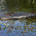 Alligator Swimming In Blue Water by Christiane Schulze Art And Photography
