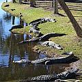 Alligators Beach by John-Leon Halko