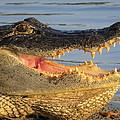 Alligator's  Mouth by Zina Stromberg
