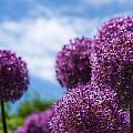 Allium by Brian Caldwell