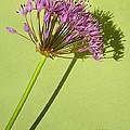 Allium by Chris Berry